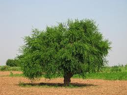 drzewo gorczyca
